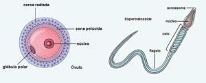 ovulo_espermatozoide