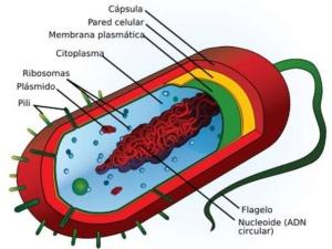 cel-procariota